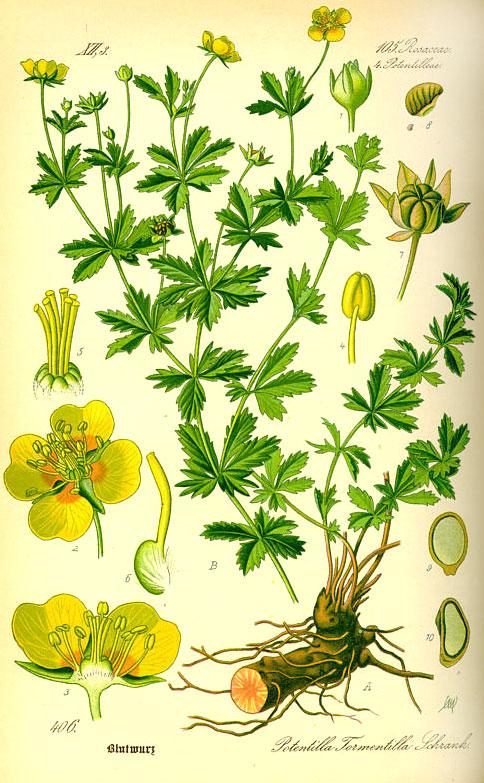 растение лапчатка